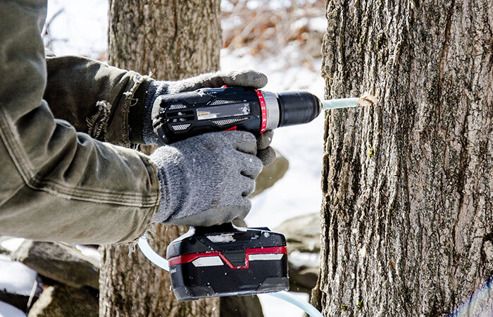 drilling a tap hole into a maple tree