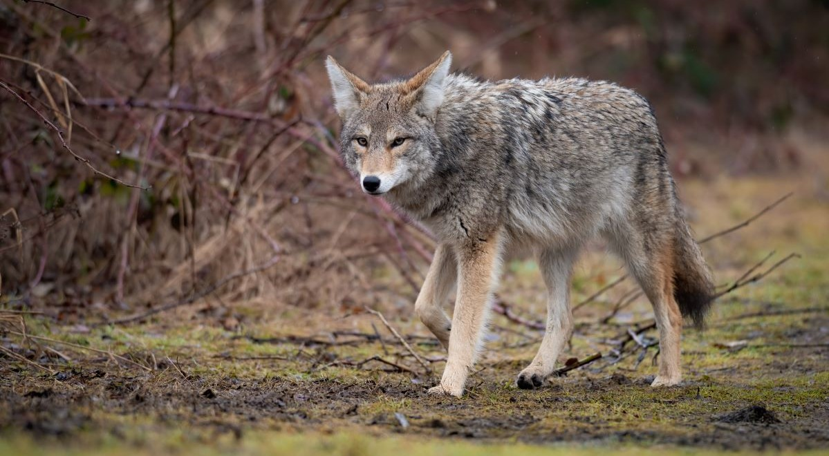 Coyote stalking in wilderness