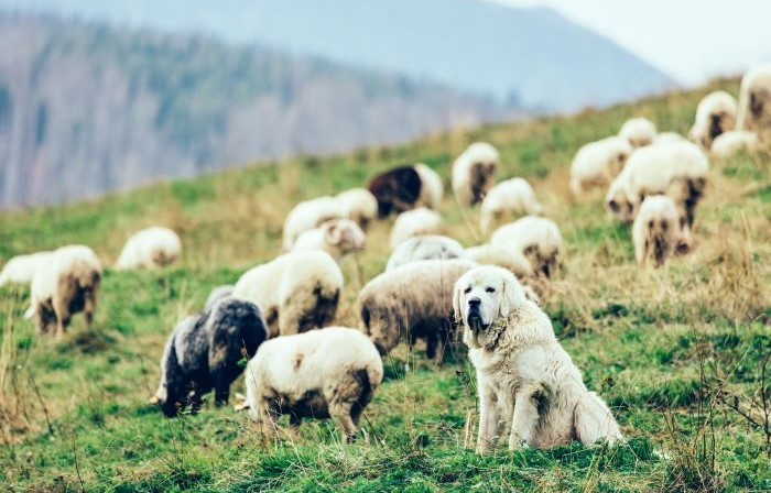 Sheepdog watching over sheep on mountain