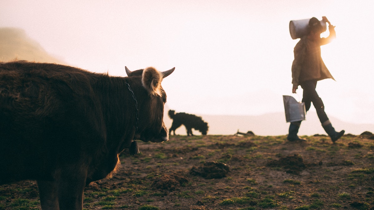 man walking away from cow after milking