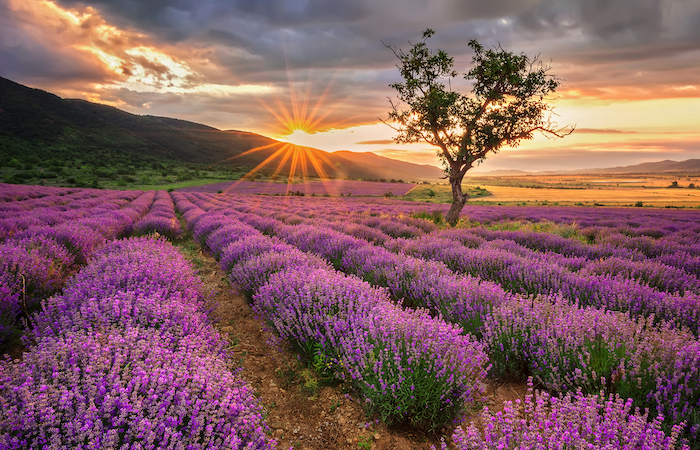 lavender field, these are good crops for small farm profit
