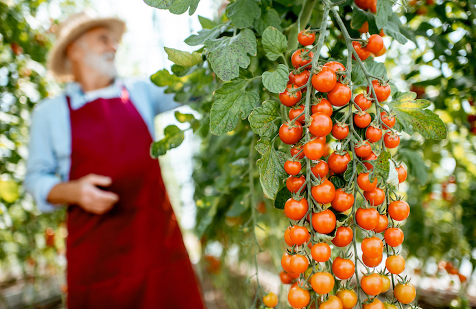 man with white beard growing cherry tomatoes, a resilient cash crop for homesteaders