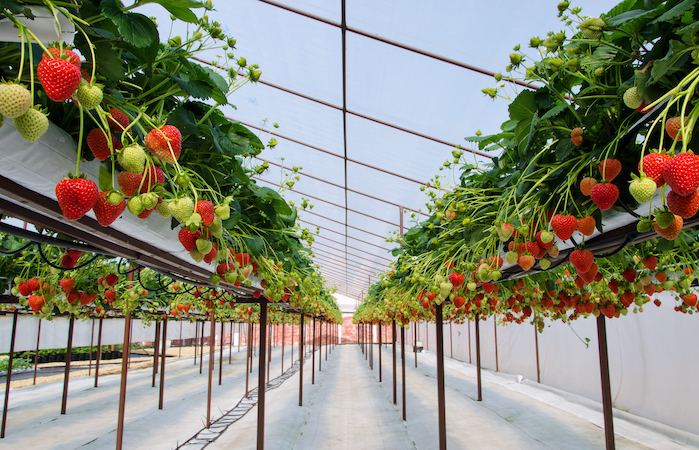 strawberries growing in a grow house